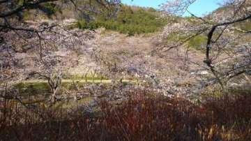 京都府亀岡市の桜並木