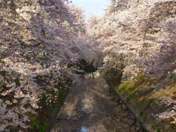 埼玉県坂戸市の桜並木