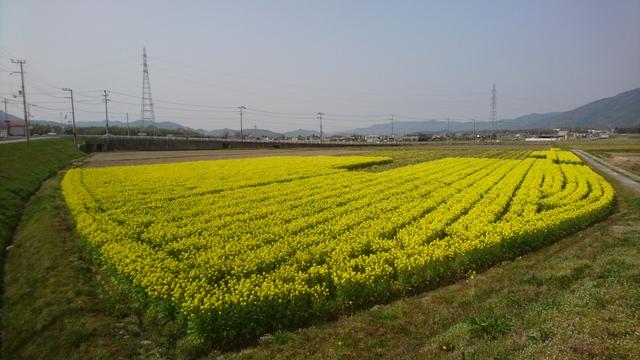 田畑には菜の花が満開だった!