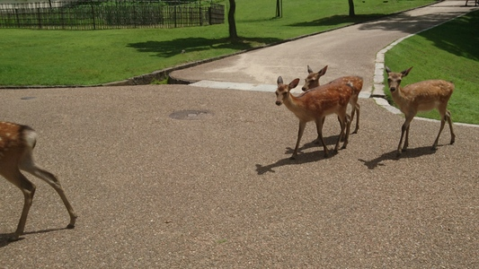 東大寺境内の仲良し鹿たち