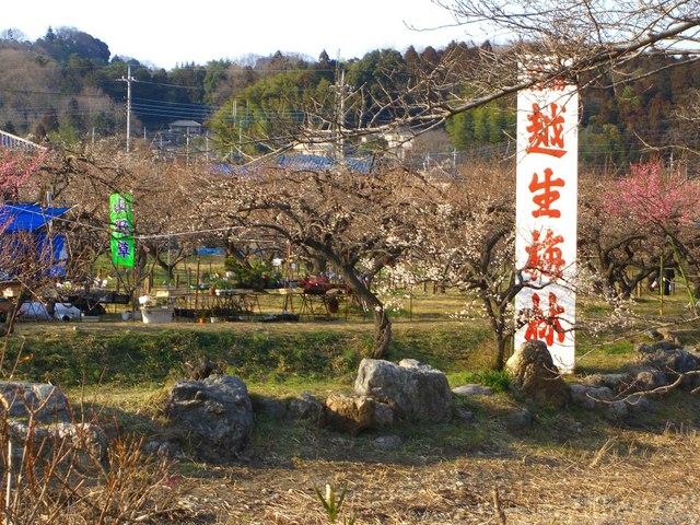 埼玉県、越生梅林