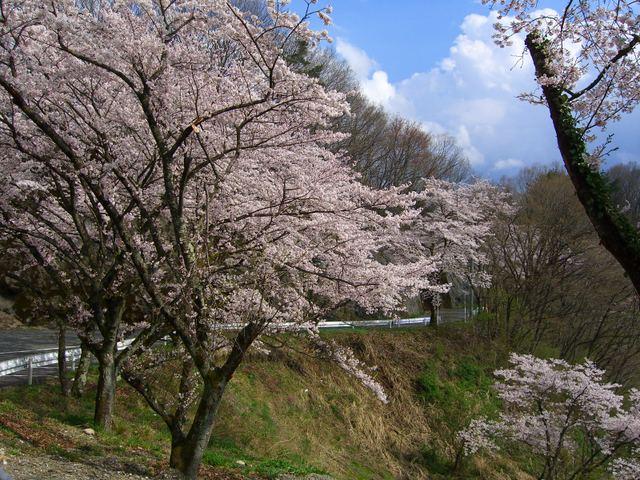 埼玉県 秩父周辺の山桜
